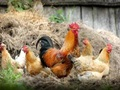 Poultry Farm & Meat Dist. for sale in NY